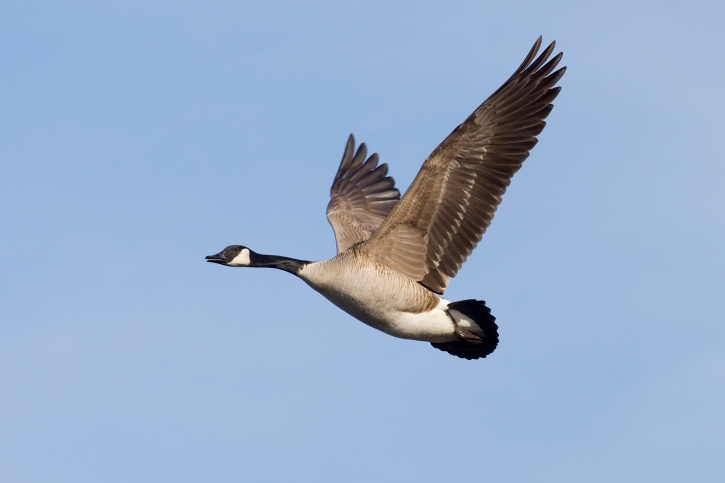 Voting Begins For The First National Bird Of Canada Blog