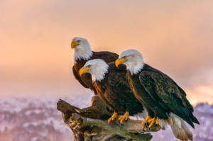 Before it was a US national emblem, the Bald Eagle held special significance within the religious beliefs and legends of several Indigenous cultures.